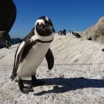 Pingviinil oli küsimus